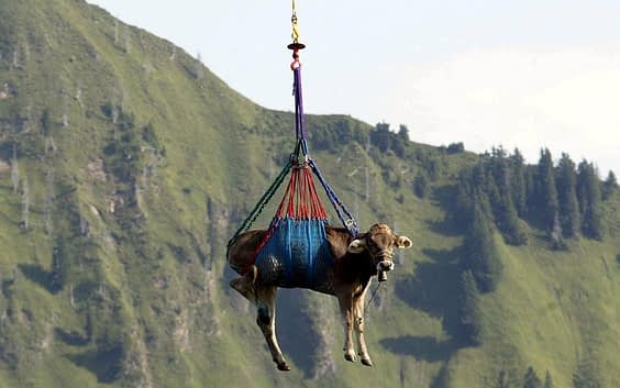 Cow-flying