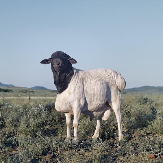 Persian-sheep.-Willowmore-Eastern-Cape-24-May-2010